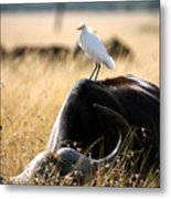 White Cattle Egret Hitching A Ride On Metal Print