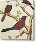 White Headed Munia, Double Coloured Seed Eater And Violet Eared Waxbill Metal Print