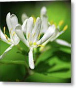 White Honeysuckle Flowers Metal Print