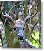 White Tailed Buck Portrait Metal Print