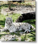 White Tiger At Rest Metal Print