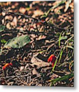 Witch's Hat Mushrooms Metal Print