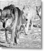 Wolf B&w 4593 Metal Print