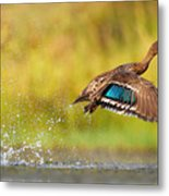 Yellow-billed Duck Taking Off From Metal Print