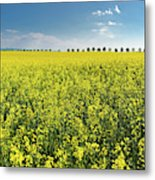 Yellow Canola Field And Blue Sky Spring Landscape Metal Print