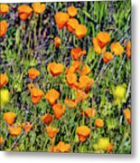 Yellow Poppies Of California Metal Print