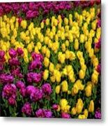 Yellow Star Tulips Metal Print