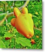 Yellow Tomato In The Amazon Jungle, Peru Metal Print