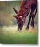Young Elk Grazing Metal Print