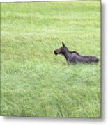 Young Moose Metal Print