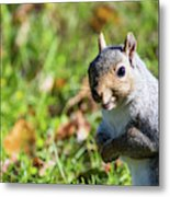 Your Friendly Neighborhood Squirrel Metal Print