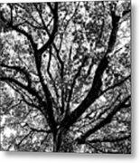 Autumn Sycamore Metal Print