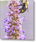 Bumblebee on Blue Giant Hyssop Metal Print