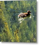 Duckling Swimming Above The Weeds  Metal Print