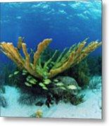Elkhorn Coral Metal Print