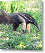 Giant Anteater Wetland Brazil Metal Print