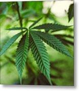 Marijuana background, marijuana leaf, marijuana plant, pot leaf, pot plant, cannabis, legal marijuana legalization Metal Print
