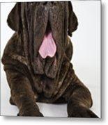 Neapolitan mastiff yawning Metal Print