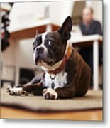 Portrait of curious dog lying on rug in an office Metal Print
