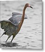 Reddish Egret No2 Metal Print