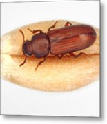 The confused flour beetle Tribolium confusum is a type of darkling beetle known as a flour beetle, is a common pest insect in stores and homes known for attacking and infesting stored flour and grain. Metal Print
