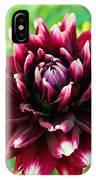 Maroon And White Dahlia Flower In The Garden IPhone Case