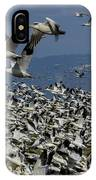 Snow Geese At Skagit IPhone Case