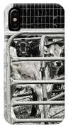 Young Cows In Pen Near Barn Maine Photograph IPhone Case