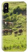 Cows Grazing On Grass In Farm Field Summer Maine IPhone Case