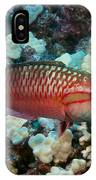 Ringtail Wrasse IPhone Case