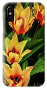 Beautiful Bicolor Tulips IPhone Case