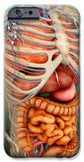Perspective View Of Human Body, Whole IPhone Case by Stocktrek Images