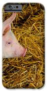 Pig Standing In Hay IPhone Case by Amy Cicconi