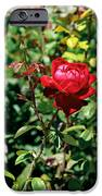 Red Rose. IPhone 6s Case