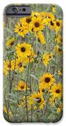 Sunflower Patch On The Hill IPhone Case by Tom Janca