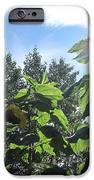 Sunflowers In Sunshine IPhone 6s Case