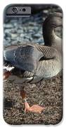 White Fronted Goose IPhone Case by Skip Willits