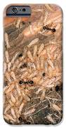 Termite Nest Reticulitermes Flavipes IPhone Case by Ted Kinsman