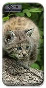Bobcat Kitten Exploration IPhone Case by Sandra Bronstein