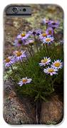 Clump Of Asters IPhone 6s Case by Barbara Schultheis