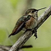 A Little Tired Hummingbird Poster