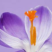 Abstract Purple Crocus Poster