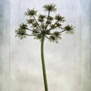 Aethusa Cynapium Poster