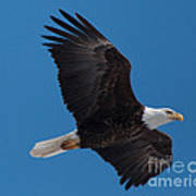 Bald Eagle In Flight 6 Poster