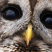Barred Owl Eye's Poster