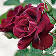 Beautiful Red Roses Poster