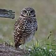 Burrowing Owls - Watching You 3 Poster