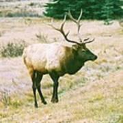 Canadian Elk Poster