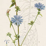 Chicory, Or Succory         Date 1915 Poster