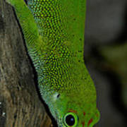 Climbing Giant Day Gecko Poster